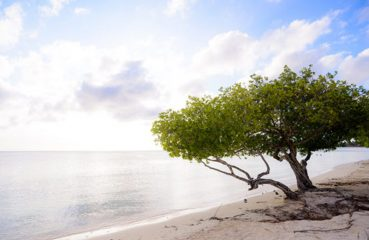Tree on beach in Aruba