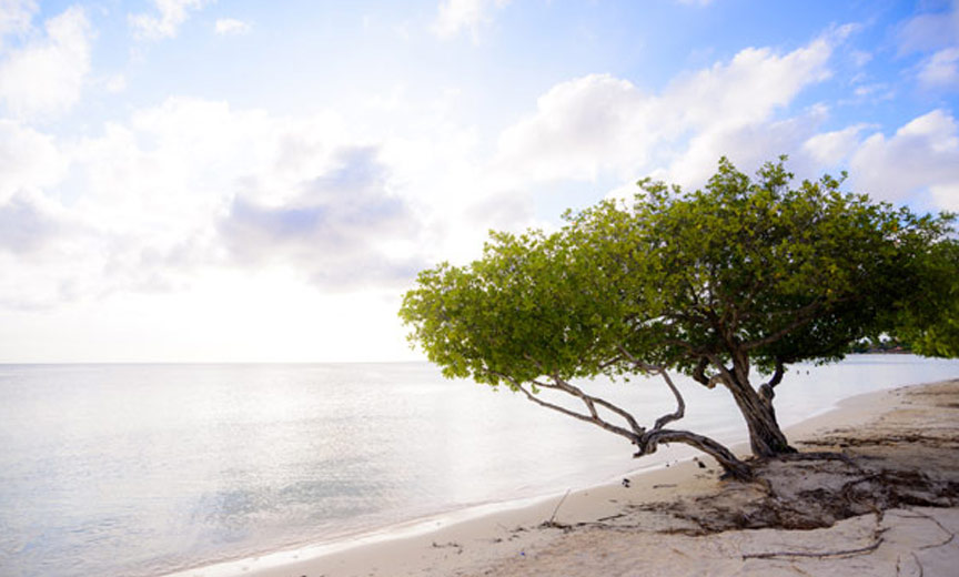 Tree on beach in Aruba