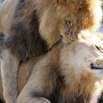Homosexual Lions