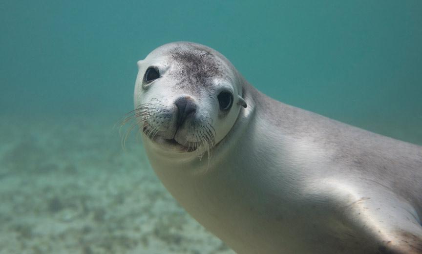 Sea Lion - South Australia